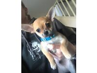 Male chihuahua puppy. Ready now. £500 no offers.