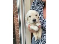 Golden retriever puppy's