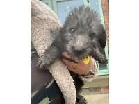 Bedlington whippet pups ready now