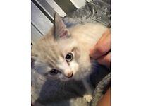 13 week old male kitten