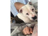 1 year old White and brindle staff for sale