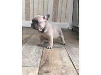 KC reg French bulldog puppies