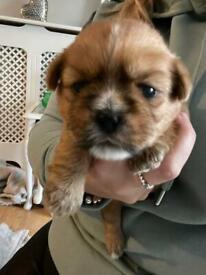 3 beautiful shitzu x westie puppies