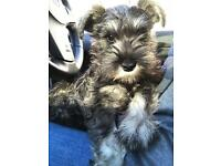 Miniature schnauzer puppy, all accessories included