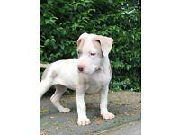 Beautiful American xl bully puppies females available (not bulldog)