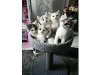 Adorable White Kittens Only 2 Left