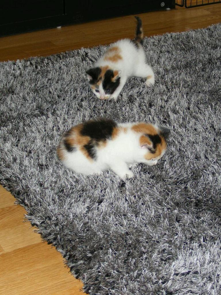 Last 2 female calico kittens for sale