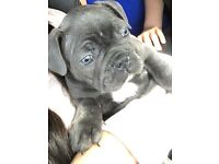 ** BLUE FRENCH BULLDOG * BLUE EYED * KC REG * ALSO ALL INJECTIONS UP TO DATE