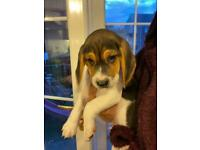 beagle puppies *2 LEFT*