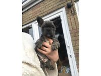 Frenchie puppy's Kc reg blue and tan