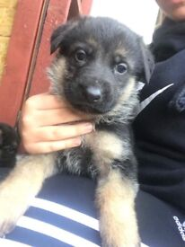 Beautiful German shepherd pups only two males left!