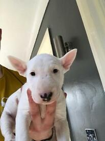 English bullterrier pups