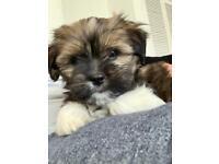 Lhasa Apso girl puppy
