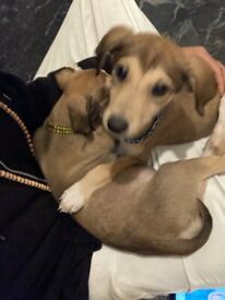 For sale Lurcher Puppies £450 each 800 for both