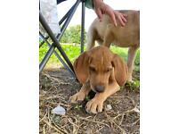 Goldador puppy ready now