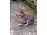 rabbit, ginger/grey colour with hutch for sale