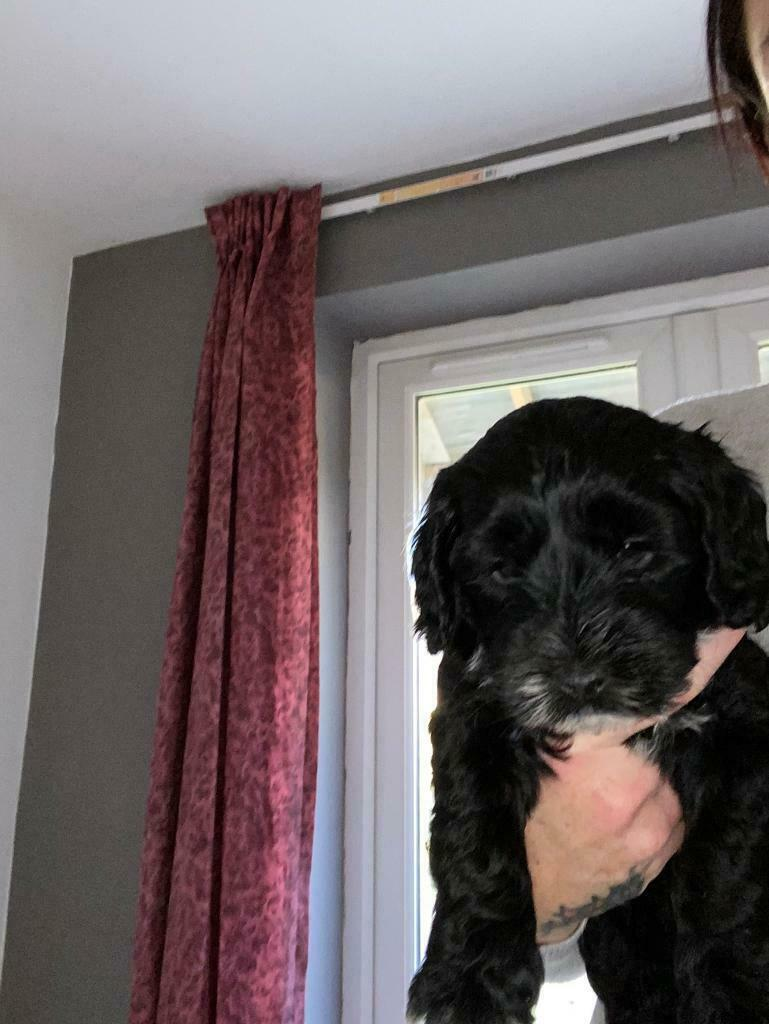 Black F2 Cockapoo Puppies 2x Girls 2x Boys In Tuffley Gloucestershire Gumtree