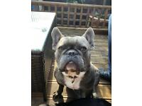 2 year old male French bulldog