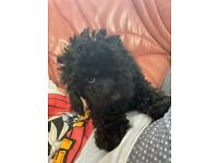 Male Toy Poodle Puppy