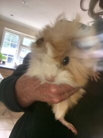 6 week old long haired Guinea Pigs