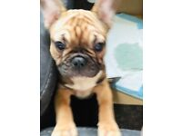 French Bulldog In London Dogs Puppies For Sale Gumtree