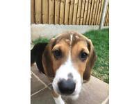 10 week old Beagle for sale