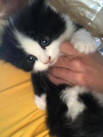 brautiful -long and short hair kittens for sale