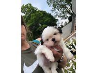 Shitzhu pups for sale