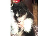 Cockerchon Female, Cuddly lap dog, Suit Elderley Companion or Older Childrens Pet
