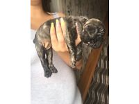 2 female French bulldog puppies for sale