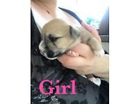 Stunning Chihuahua x Bichon x puppies