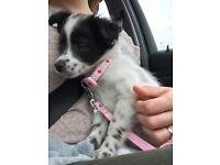 ChiPoo puppy