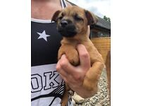 1 chihuahua x Lakeland terrier bitch puppy