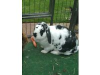 For re homing, 2 year old rabbit, friendly and tame and used to other pets