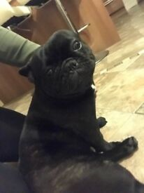 Female French bulldog.