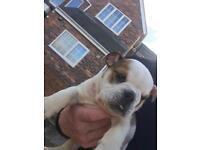 British bulldog puppy last boy left