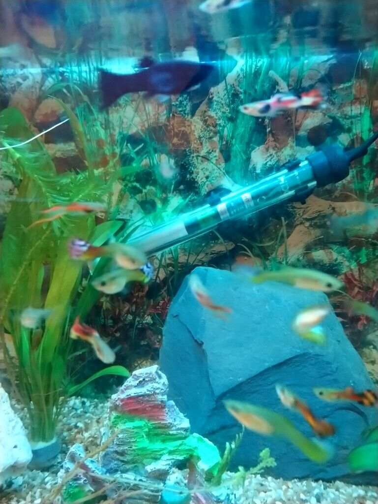 Various Guppy Fish for sale | in Yorkhill, Glasgow | Gumtree