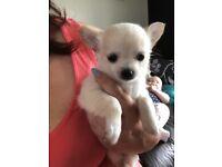 Cream chihuhua puppy