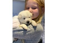 Husky x 1/4 Lab Rare Puppies for Sale