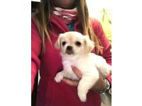 pedigree chihuahua girl pup for sale with papers