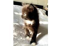 Gorgeous black & white fluffy kitten boy