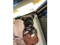Beautiful Scottie russell puppy