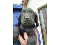 Black cocker spaniel puppy for sale