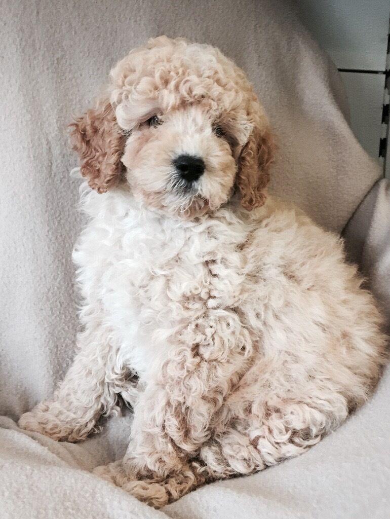 Cavapoo Puppies For Sale In London In Ealing London Gumtree