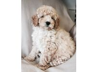 Cavapoo puppies for sale in London