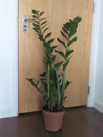 'ZZ' Zamioculcas air-purifying indoor house plant / tree