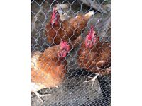 3 chickens, intermittent layers, free to good home