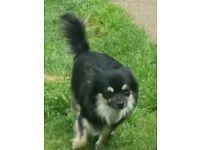Black try full pedigree male chihuahua