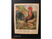 Vintage Italy Wall Picture brown leghorns chickens By Grafiche Tassotti N.7045