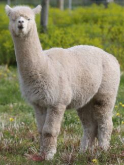 Alpacas for sale, starting at $290